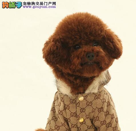 出售正宗血统优秀的泰迪犬专业繁殖中心值得信赖