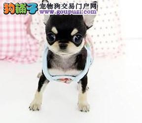 极品纯正的吉娃娃幼犬热销中品质保障可全国送货