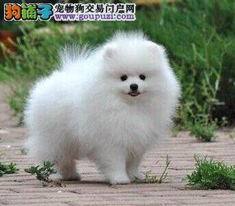 百分百健康纯种博美犬广东热卖中冠军级血统品质保障