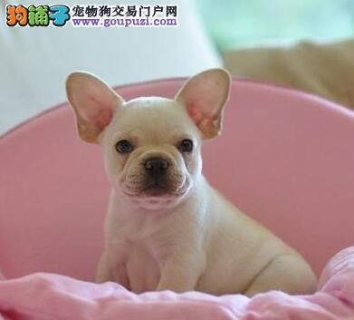 极品优质大逼近南京斗牛犬特价出售 赛级品质已做驱虫