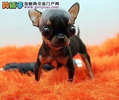 纯种吉娃娃出售,CKU认证犬舍,提供养护指导