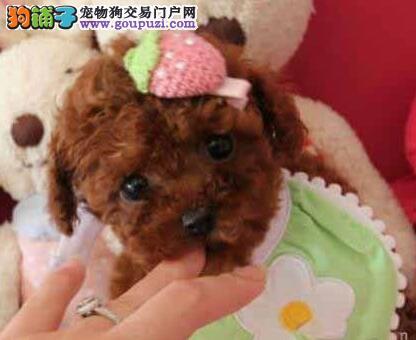 上海自家繁殖的纯种贵宾犬找主人我们承诺终身免费售后