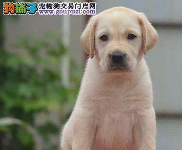 极品纯正血统杭州拉布拉多犬特价直销中 可签订协议