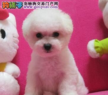 可爱极品卷毛杭州比熊犬优惠价出售 支持空运客运