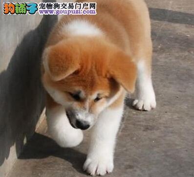 直销高品质纯种日系秋田犬 可来杭州犬舍实地考察看狗