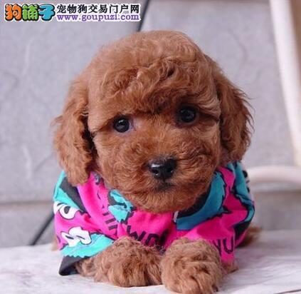 可爱的小泰迪犬十堰市繁育出售可上门看狗