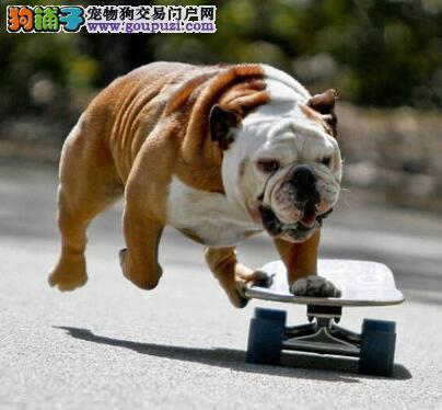 英国斗牛犬黄南州最大的正规犬舍完美售后请您放心选购