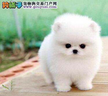 CKU犬舍认证出售高品质赤峰博美犬三针疫苗齐全