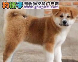 极品秋田犬出售,高端大气精典品质,可签保障协议
