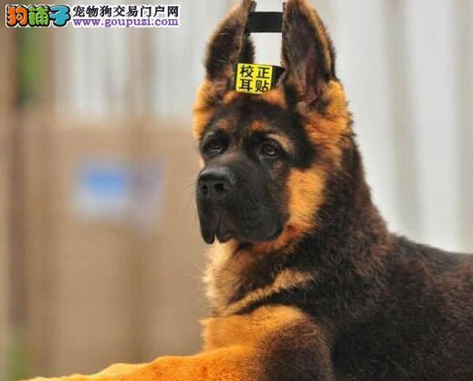 贵阳培育中心出售锤系大骨架的德国牧羊犬 疫苗已做