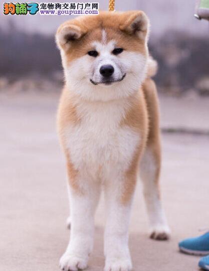 CKU犬舍认证出售纯种秋田犬价格美丽非诚勿扰