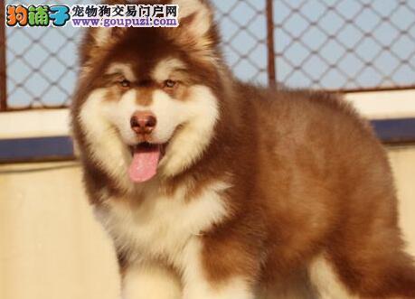 珠海自家狗场热卖阿拉斯加犬 可24小时视频看实物