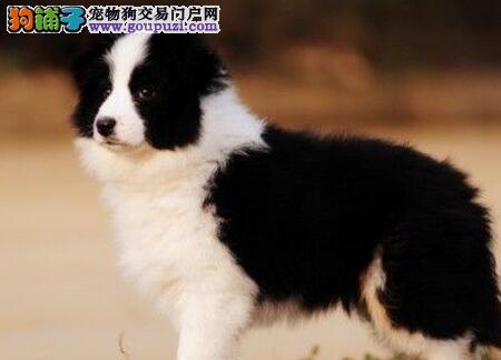 专业养殖场直销天津边境牧羊犬包养活包售后