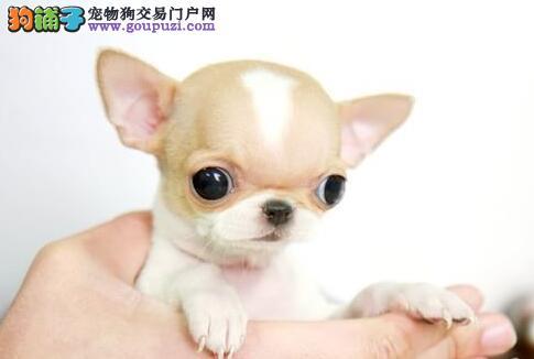 极品纯正的吉娃娃幼犬热销中价格低廉品质高
