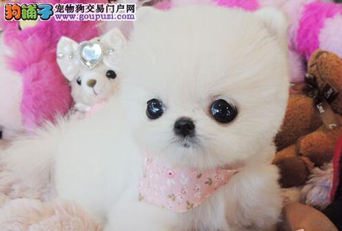 超可爱哈多利版球体博美幼犬出售|