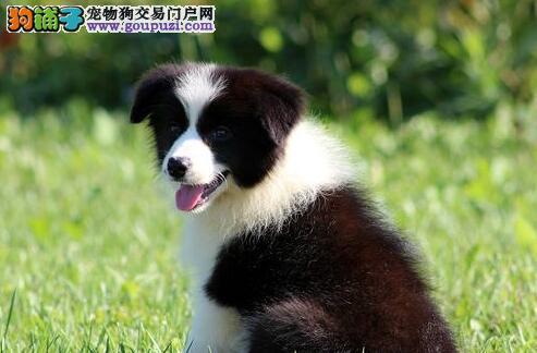 顶级优秀七白到位福州边境牧羊犬特价出售 公母都有