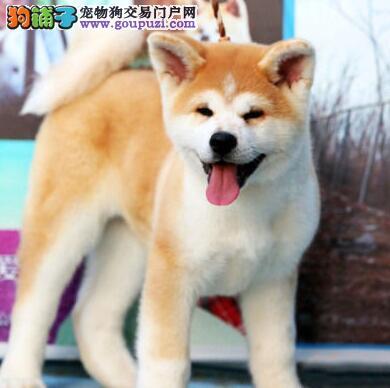 长沙哪里有卖秋田犬的长沙秋田犬多少钱
