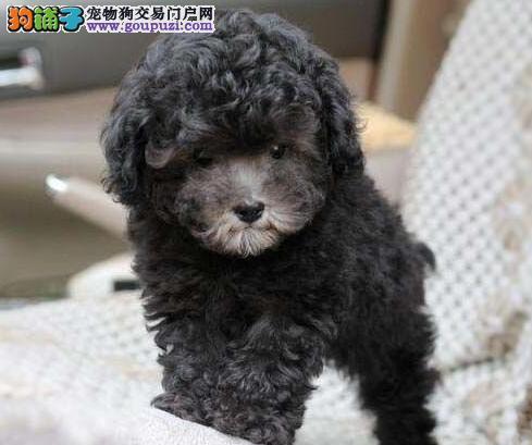 基地直销纯种泰迪幼犬 海口的朋友上门选购爱犬