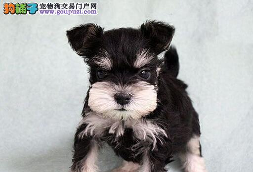 西城专业繁殖出售雪纳瑞幼犬健康保证可签协议