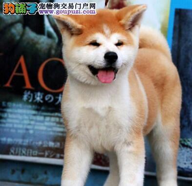 顶级优秀的纯种秋田犬临汾热卖中购犬可签协议