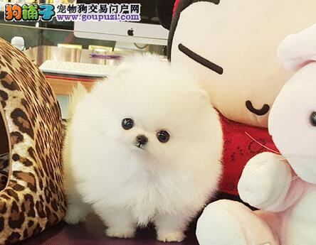 CKU认证犬舍 专业出售极品 博美犬幼犬保终身送用品