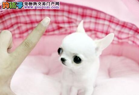 桂林信誉度极高的犬舍出售巨型贵宾犬 可办理芯片证书