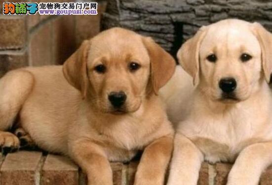 西宁犬舍低价出售短毛的拉布拉多犬 好打理不掉毛