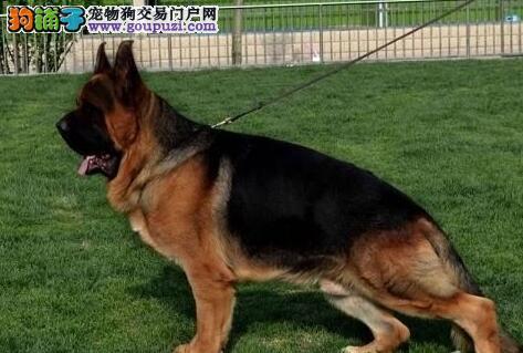 骨骼壮毛量足的济南德国牧羊犬特价处理 易于训练
