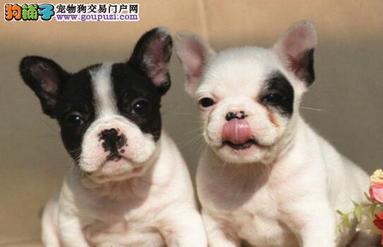 南昌最大犬舍出售多种颜色法国斗牛犬全国当天发货
