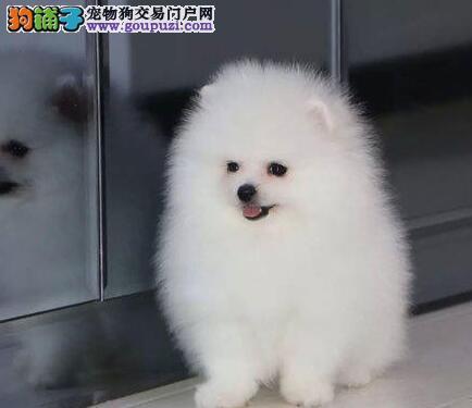 球形俊介血系的潍坊博美犬找爸爸妈妈 非诚勿扰