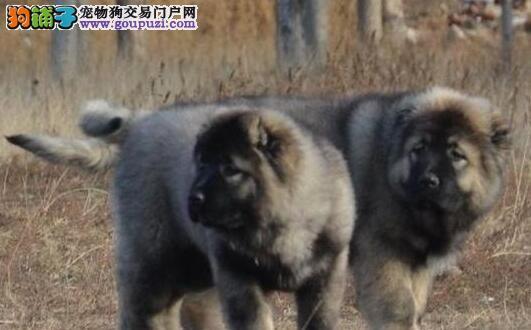 出售纯种高加索幼犬 熊版大头版大骨架好毛量多只选择