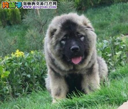 赛级品相呼伦贝尔高加索幼犬低价出售全国质保全国送货