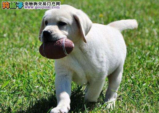 转让台州自家繁殖的拉布拉多犬 喜欢的朋友不要错过