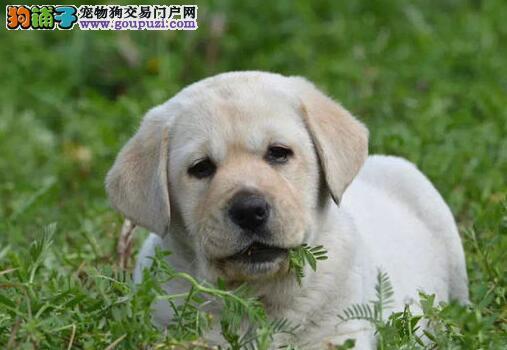 顶级贵阳拉布拉多犬出售 血统纯正身体健康可视频看狗