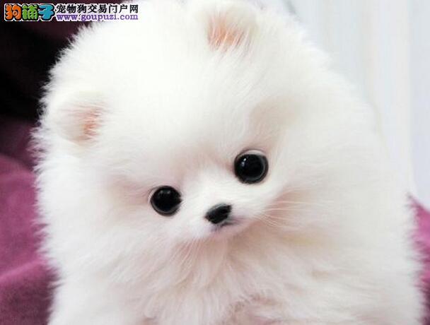 潍坊狗场低价出售哈多利血系博美犬 完善的售后服务