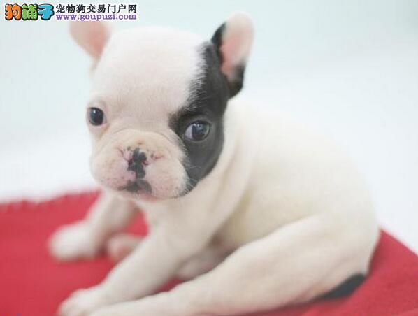 螺旋尾巴的台州斗牛犬找新主人 签订合法售后协议