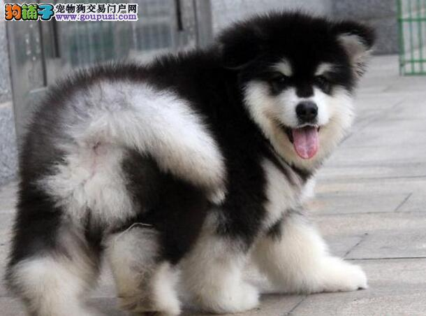 正规狗场繁殖出售纯种邯郸阿拉斯加雪橇犬 价格优惠