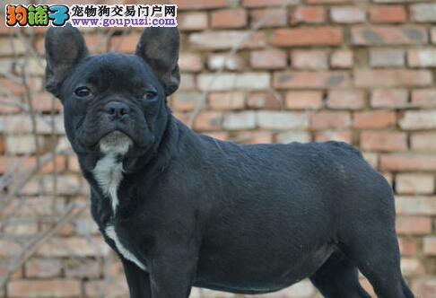 出售北京法国斗牛犬健康养殖疫苗齐全微信咨询看狗狗视频