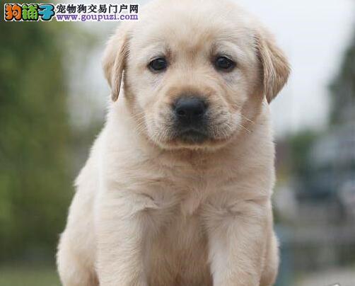 泉州专业繁殖高品质赛级拉布拉多犬 签订合法协议书
