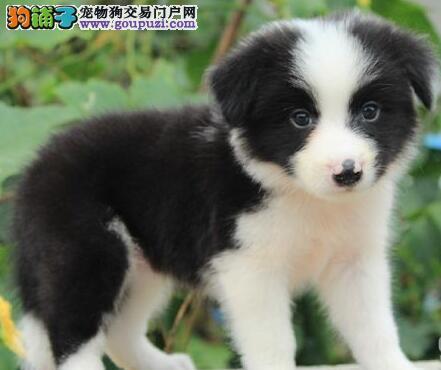 西安出售智商第一边境牧羊犬黑白小精灵 品质健康保证