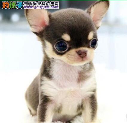 苹果头眼睛极大的济南吉娃娃幼犬出售中 狗贩子请绕行