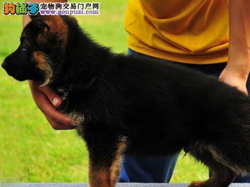 德国牧羊犬CKU认证犬舍自繁自销支持全国空运发货