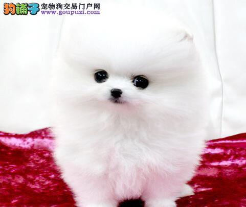 精品博美犬幼犬一对一视频服务买着放心签订终身协议