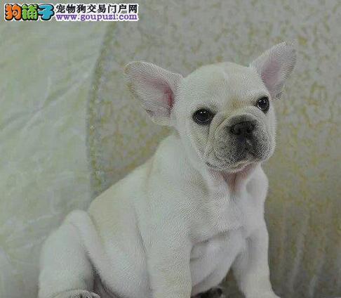 出售顶级血统纯正的潍坊斗牛犬 可随时电话联系