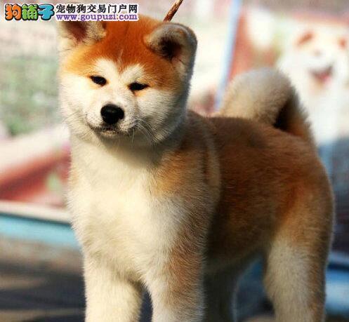 出售秋田犬健康养殖疫苗齐全外地可空运已驱虫