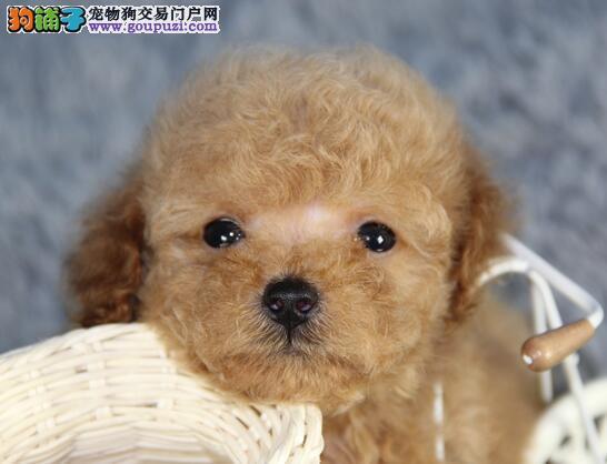 正规狗场犬舍直销泰迪犬幼犬喜欢的别错过