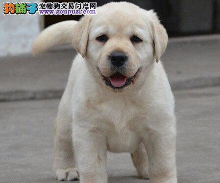 潍坊知名犬舍出售赛级品质的拉布拉多犬 非诚勿扰