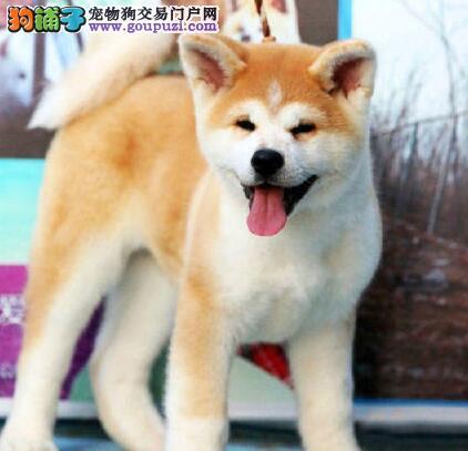 贵族纯正秋田犬、品质第一价位最低、购买保障售后