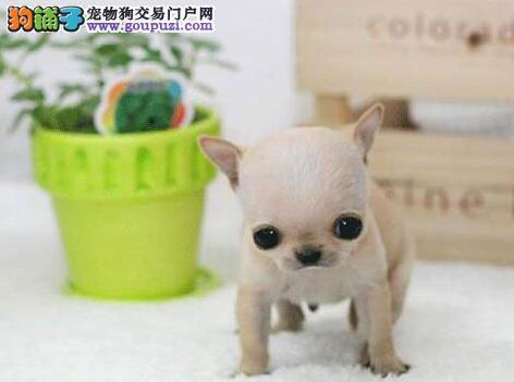 出售多种颜色开封纯种吉娃娃幼犬微信咨询欢迎选购