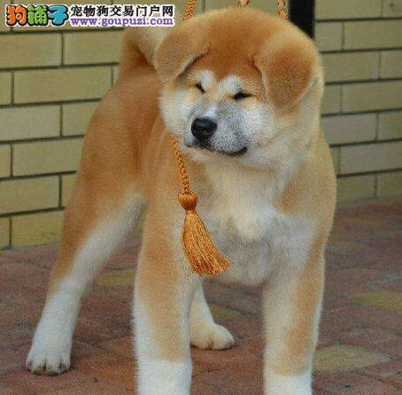 淄博狗场直销纯正血统的秋田犬 公母均有 欲购从速